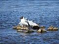 Black-headed gull DSCN1697 - Flickr - ianpreston.jpg