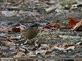 Black-throated Accentor (Prunella atrogularis) (24546435950).jpg
