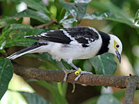 Black Collared Starling RWD4.jpg