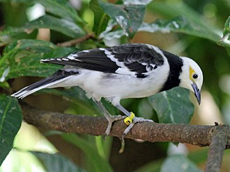 Black-collared starling - Image: Black Collared Starling RWD4
