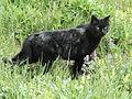 Black cat 1 (1).jpg