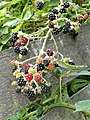 Blackberries at Hatfield Broad Oak, Essex, England 02.jpg