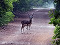 Blackbuck, Guindy NP AJTJ P1040425.jpg