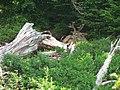 Blacktail Buck with antlers in velvet near Paradise Inn. (3ddf57b050da40ddaf9c4680c2e99a8b).JPG