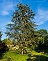 Blaue Atlas Zeder Queen-Auguste-Victoria-Park (Umkirch) jm30198.jpg