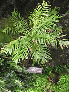 Blechnum gibbum (Washington DC).jpg