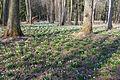 Bledule jarní v PR Králova zahrada 38.jpg