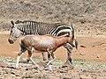 Blesbok (Damaliscus pygargus phillipsi) and Cape Mountain Zebra (Equus zebra zebra) (32456629652).jpg