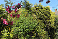 Blossoming hedge on Downhall Road at Matching Green, Essex, England.jpg