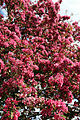 Blossoming tree detail on Downhall Road at Matching Green, Essex, England.jpg