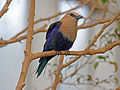 Blue-bellied Roller RWD5.jpg