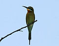 Blue-tailed Bee-eater (Merops philippinus) W IMG 4335.jpg