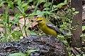 Blue-winged Warbler (male) Sabine Woods TX 2018-04-21 12-22-06 (41072172725).jpg