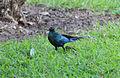 Blue bird Gambia.jpg