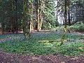 Bluebells (Hyacinthoides non-scripta), Wellfield Wood, Stevenage (27608763021).jpg