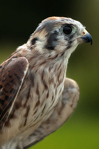 American kestrel - Adult female in Winnipeg, Manitoba, Canada