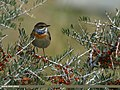 Bluethroat (Luscinia svecica) (22410119046).jpg