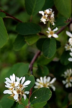 alt=Description de l'image Blutrote Felsenbirne (Amelanchier sanguinea) 5868.JPG.