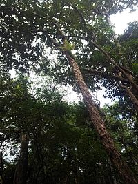 Bois Bigaignon - Psiloxylon mauritianum - Ferney Mauritius.jpg