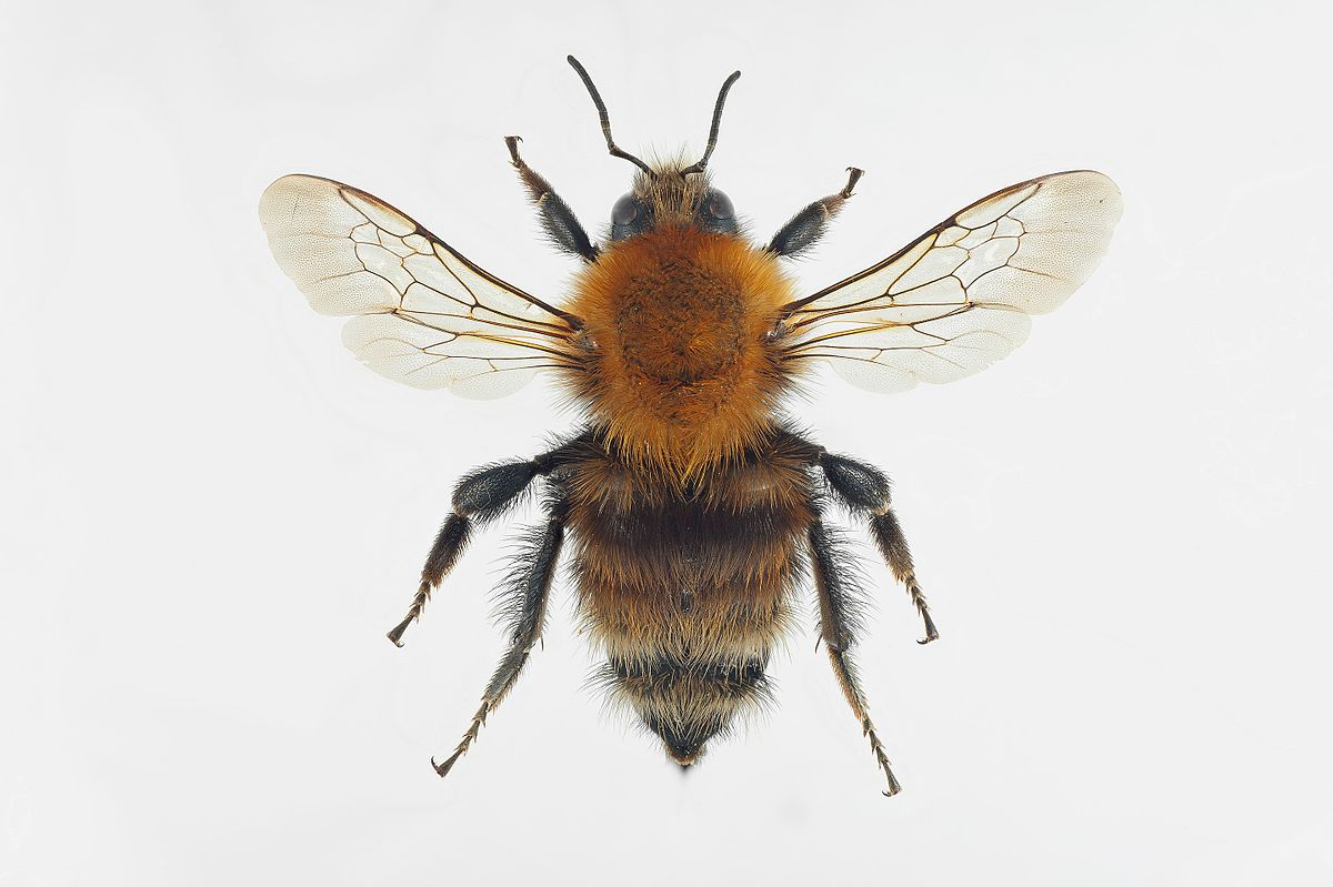 brownbanded carder bee wikipedia