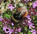 Bombus monticola (Blaeberry bumblebee) - Flickr - S. Rae.jpg