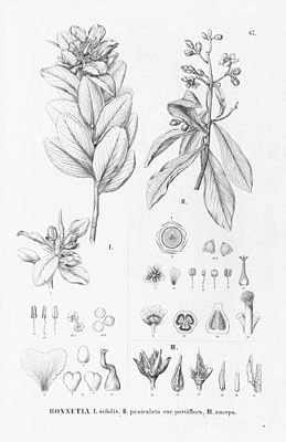 Bonnetia sessilis (links) und Bonnetia paniculata (rechts), Illustration.