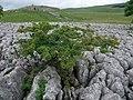 Bonsai hawthorn on limestone pavement - geograph.org.uk - 1408168.jpg