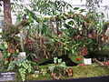 Borneo Exotics Nepenthes display, 2011 Chelsea Flower Show-3.jpg