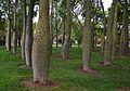 Bosquet de corísies al jardí del Túria, València.JPG