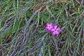 Botanischer Garten Berlin-Dahlem 10-2014 photo17 Dianthus imereticus.jpg