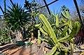 Botanischer Garten der Universität Zürich nach Umbau - 'Tiefland' - Myrtillocactus geometrizans 2014-03-08 14-43-58.JPG