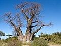 BotswanaBaobab.JPG