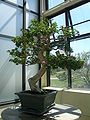 Bougainvillea Bonsai.jpg