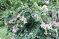 Bougainvillea Imperial Delight 6zz.jpg