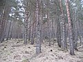 Braelangwell Wood - geograph.org.uk - 789956.jpg