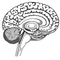 Brain (PNG).png