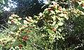 Branche chargée de fruits (cotonéaster).jpg