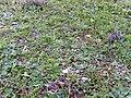 Brassica repanda subsp. blancoana Habitat 2010-1-16 DehesaBoyaldePuertollano.jpg