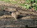 Brave Bunny - geograph.org.uk - 1308878.jpg