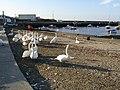 Bray Harbour Swans - geograph.org.uk - 459576.jpg