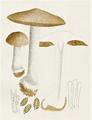 Bresadola - Hebeloma crustiliforme.png