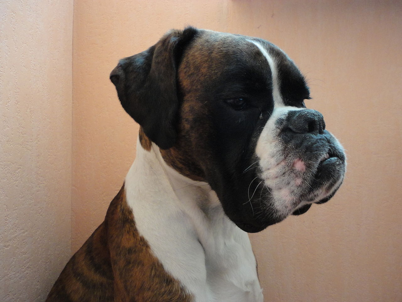 File brindle boxers 1 jpg wikimedia commons for Brindle boxer