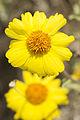 Brittlebush (Encelia farinosa) flower (17238752305).jpg