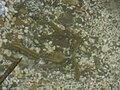 Brook Lampreys nesting - Lampetra planeri 3.jpg