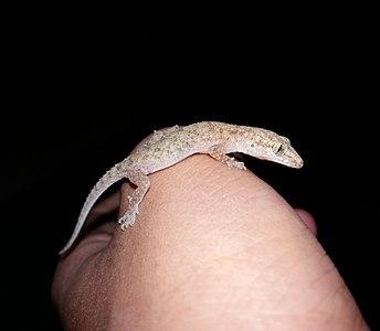 Brooke's house gecko in Kathmandu, Nepal.