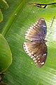 Brown-blue butterfly (5862546448).jpg