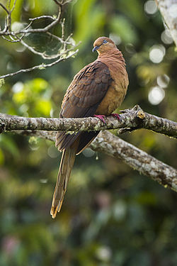 Brown Cuckoo-Dove- Lake Eacham - Queensland S4E8018 (22327667126).jpg