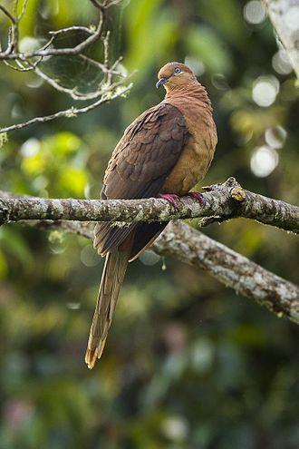 Brown cuckoo-dove - Image: Brown Cuckoo Dove Lake Eacham Queensland S4E8018 (22327667126)
