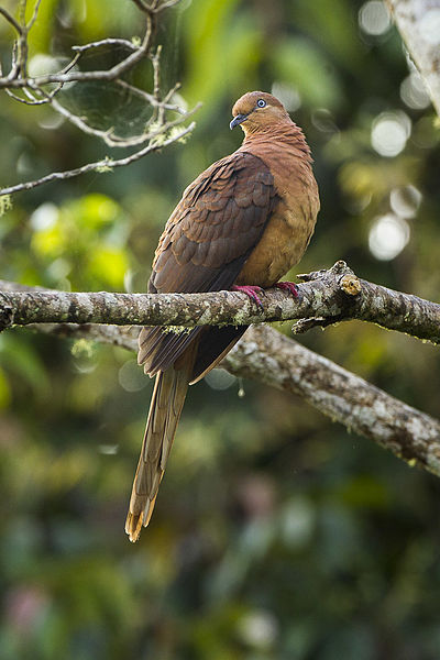 File:Brown Cuckoo-Dove- Lake Eacham - Queensland S4E8018 (22327667126).jpg