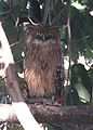 Brown Fish Owl 1.jpg